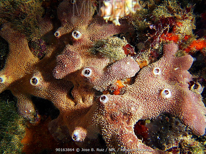 Sponge (Ircinia dendroides) in Mediterranean Spain  -  Jose B. Ruiz/ npl