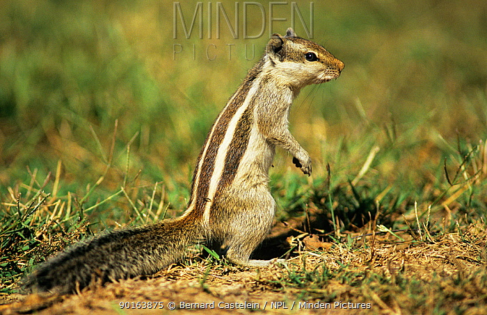 Five striped palm squirrel (Funambulus pennanti) Keoladeo Ghana NP, Bharatpur, Rajasthan, India  -  Bernard Castelein/ npl
