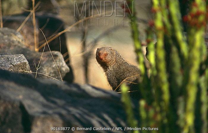 Ruddy mongoose (Herpestes smithi) Ranthambore NP, Rajasthan, India  -  Bernard Castelein/ npl
