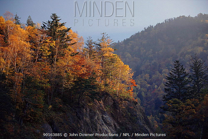 Mixed woodland (Japanese larch and maples) Northern Alps, Hirayu, Japan, Asia  -  John Downer/ npl