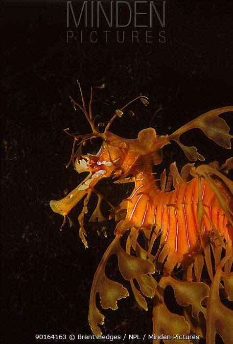 Leafy seadragon (Phycodurus eques) Australia  -  Brent Hedges/ npl