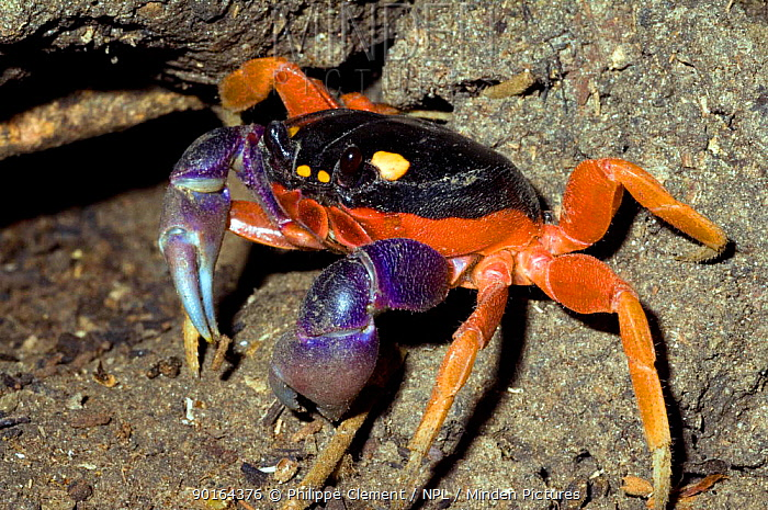 Minden Pictures stock photos - Halloween crab, Harlequin, Red land ...