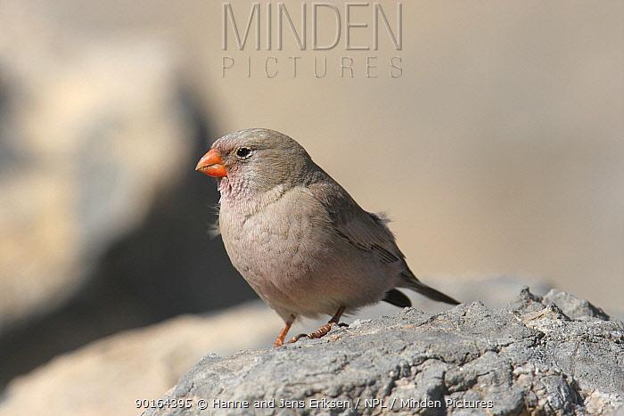 Trumpeter finch (Rhodopechys githaginea) Sayh, Musandam, Oman  -  Hanne & Jens Eriksen/ npl