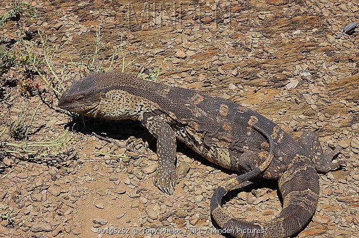 Minden Pictures Stock Photos Southern Savanna Rock Monitor Lizard