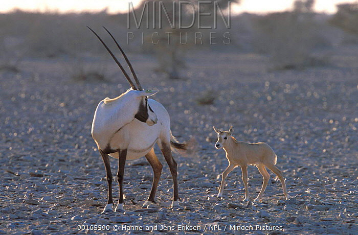 Arabian Oryx (Oryx leucoryx) mother (tagged) with calf in temporary enclosure, Jaaluni, Oman captive  -  Hanne & Jens Eriksen/ npl