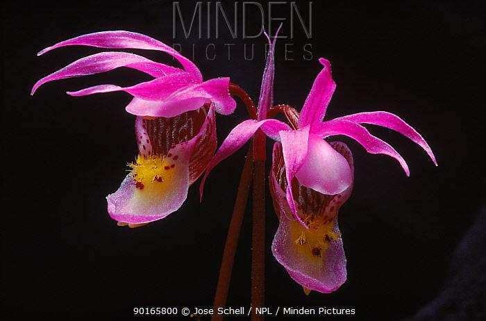 Fairy slipper orchid (Calypso bulbosa) Anticosti Is, Quebec Province, Canada  -  Jose Schell/ npl