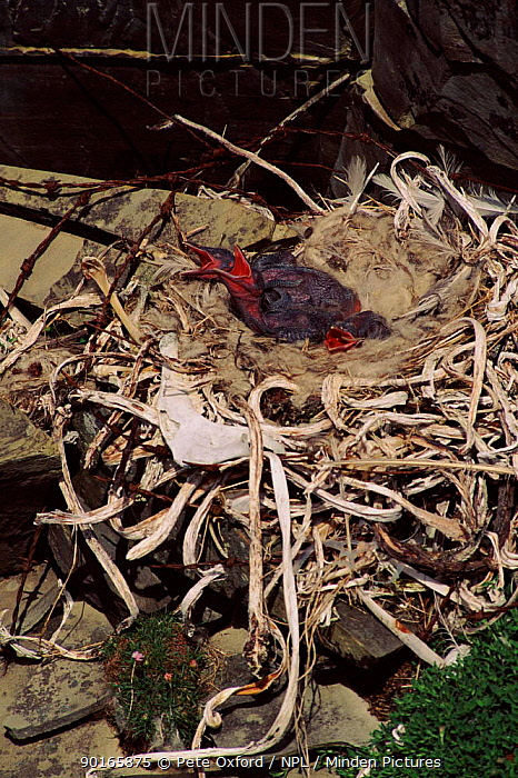 Nest R Wire | Minden Pictures Stock Photos Common Raven Chicks Begging In Nest