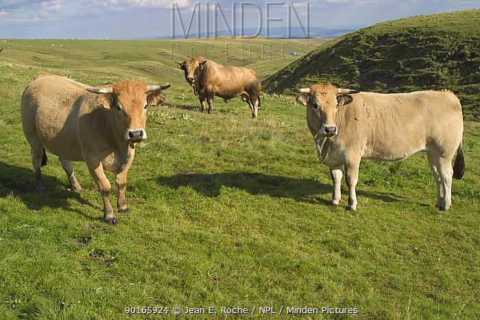 Three Aubrac cattle (Bos taurus) in grazed mountaine landscape Bull in background, C?zallier, Cantal, France  -  Jean E. Roche/ npl
