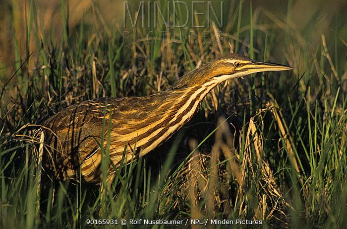 American Bittern (Botaurus lentiginosus) Welder Wildlife Refuge, Sinton, Texas, USA March 2005  -  Rolf Nussbaumer/ npl