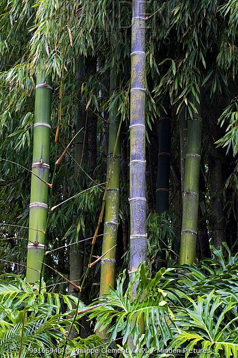 Guadua Bamboo (Guadua angustifolia), botanical garden, Costa Rica  -  Philippe Clement/ npl