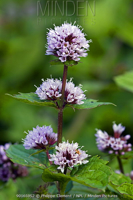 Peppermint in flower (Mentha x piperita) Belgium  -  Philippe Clement/ npl