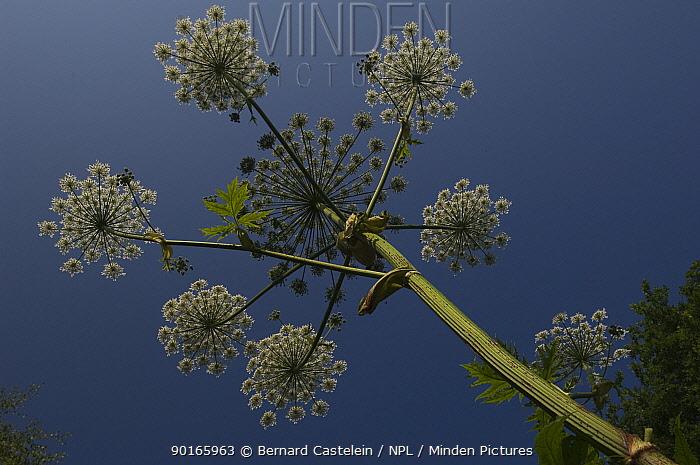 Common hogweed, Bear's Breech (Heracleum sphondylium) Belgium  -  Bernard Castelein/ npl