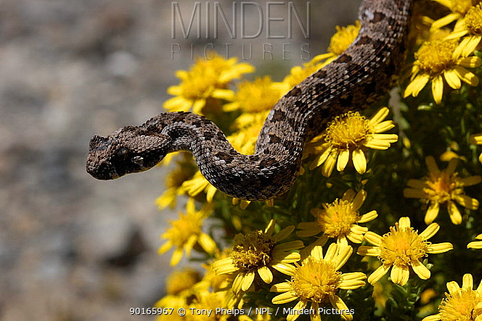 Southern adder (Bitis armata) juvenile male on yellow flowers, DeHoop NR, Western Cape, South Africa  -  Tony Phelps/ npl