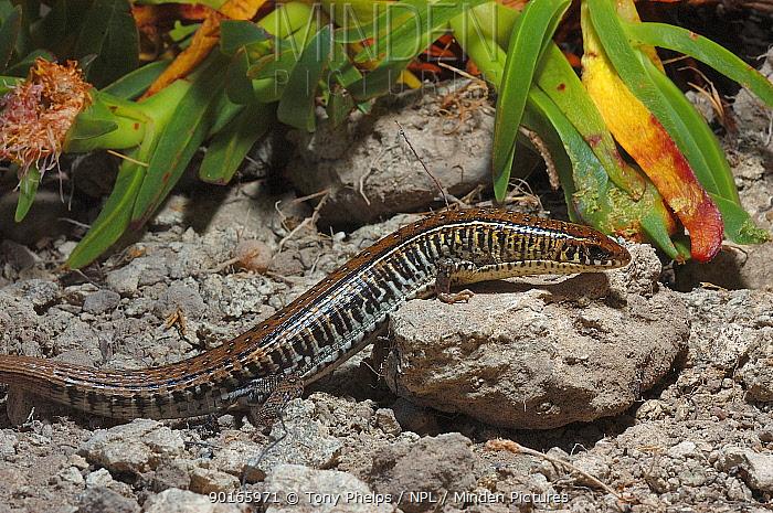 Yellow throated plated lizard (Gerrhosaurus flavigularis) DeHoop NR, Western Cape, South Africa  -  Tony Phelps/ npl