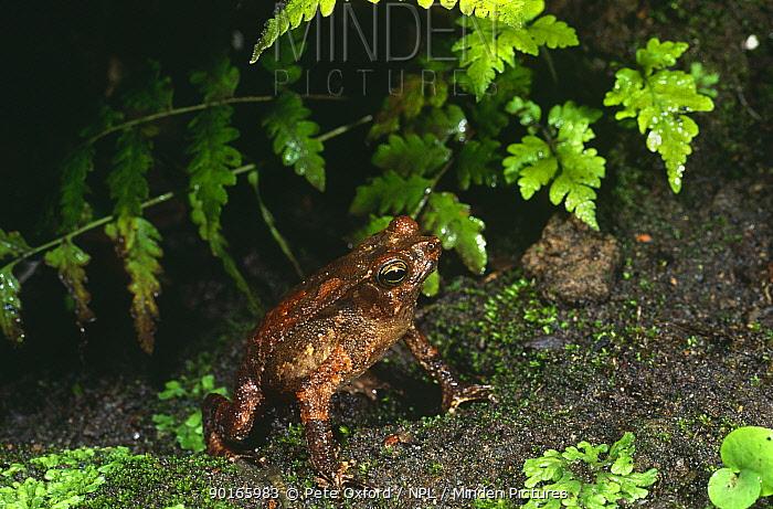 Toads in amplexus (Bufo typhonius) Amazonia, Ecuador  -  Pete Oxford/ npl