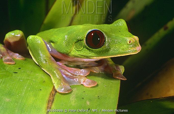 Leaf frog (Agalychnis spurrelli) Esmeraldas, Ecuador  -  Pete Oxford/ npl