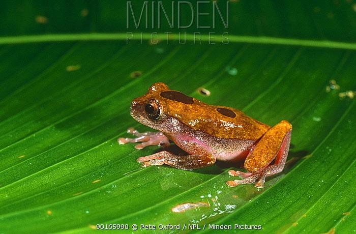 Tree frog (Hyla triangulum) Amazonia, Ecuador  -  Pete Oxford/ npl