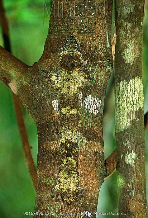 Leaf tailed gecko (Uroplatus fimbriatus) day time sleeping posture camouflaged against bark on tree trunk, Nosy Mangabe, NE Madagascar  -  Nick Garbutt/ npl