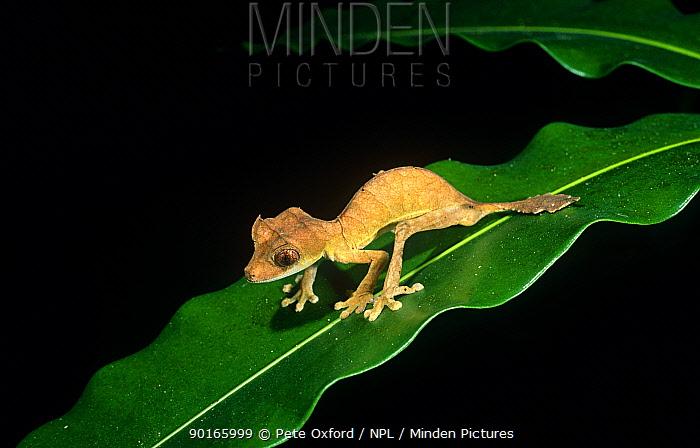 Leaf tailed gecko (Uroplatus ebenaui) foraging at night, Ankarana SR, N Madagascar  -  Pete Oxford/ npl