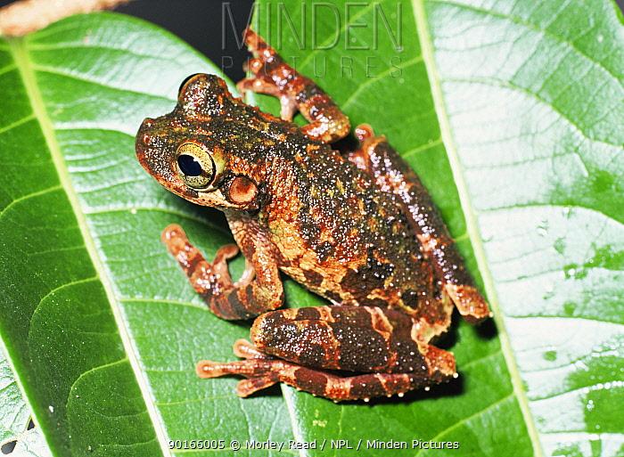 Buckleys bonehead tree frog (Osteocephalus buckleyi) Yasuni NP, Ecuador  -  Morley Read/ npl