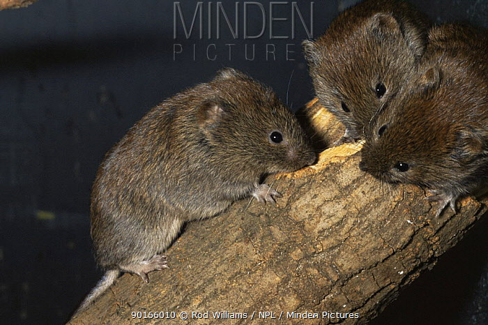 Three Jersey bank voles (Clethrionomys glareolus caesarius) sharpening teeth on wood, captive, from Jersey, Channel Is, UK  -  Rod Williams/ npl