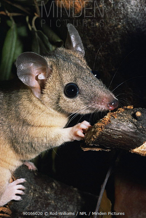 Grey short tailed opossum (Monodelphis domestica) captive, from Brazil  -  Rod Williams/ npl