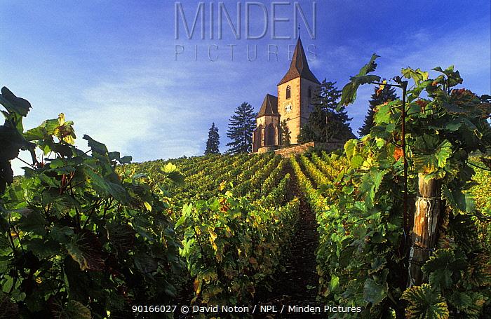 Church in vineyard nr Hunawihr, Alsace, France  -  David Noton/ npl