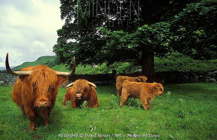 Highland cattle, Glencoe, Scotland, UK  -  David Noton/ npl