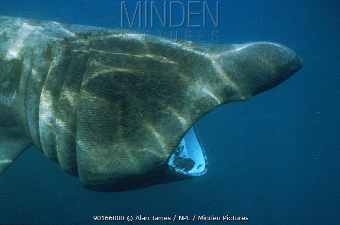 Basking shark filter feeding (Cetorhinus maximus) off Cornwall UK  -  Alan James/ npl