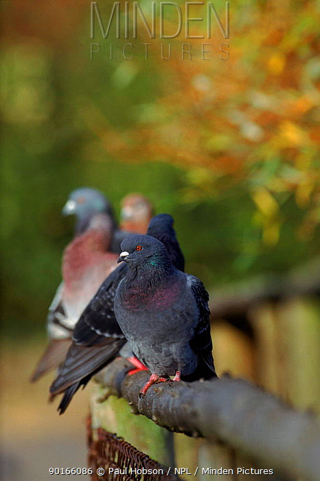 Rock doves, pigeons perched on fence, UK  -  Paul Hobson/ npl