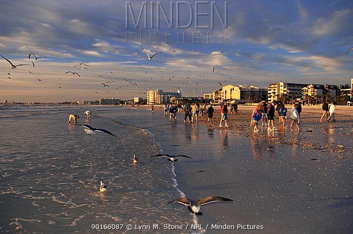 Beachcombers and gulls on Siesta Key beach after storm, Florida, USA  -  Lynn M. Stone/ npl