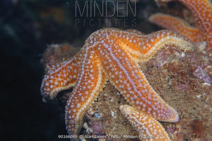Common starfish (Asterias rubens) UK  -  Alan James/ npl