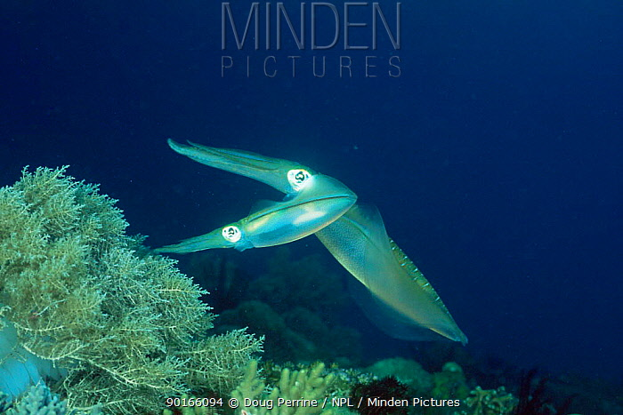 Big fin reef squid (Sepioteuthis lessoniana) large male guarding female and eggs (hidden in soft coral) Gato Island Marine Reserve, Cebu Island, Philippines  -  Doug Perrine/ npl