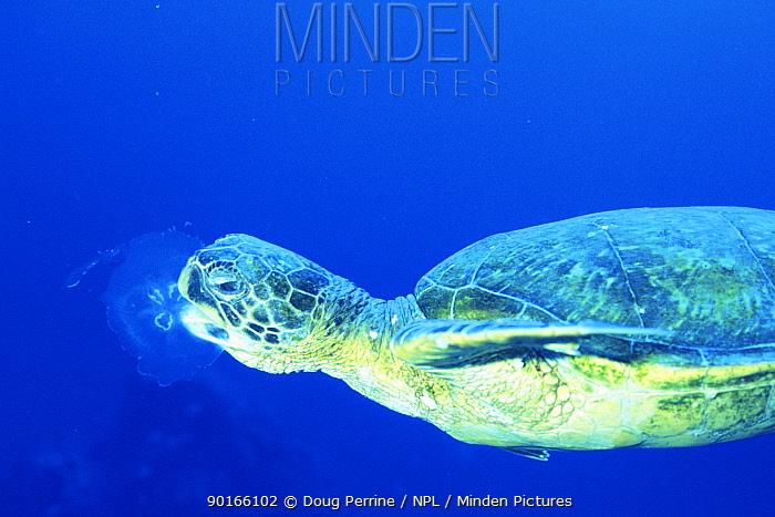 Green turtle (Chelonia mydas) feeding on Moon jellyfish (Aurelia aurita) Hawaii, Pacific ocean  -  Doug Perrine/ npl