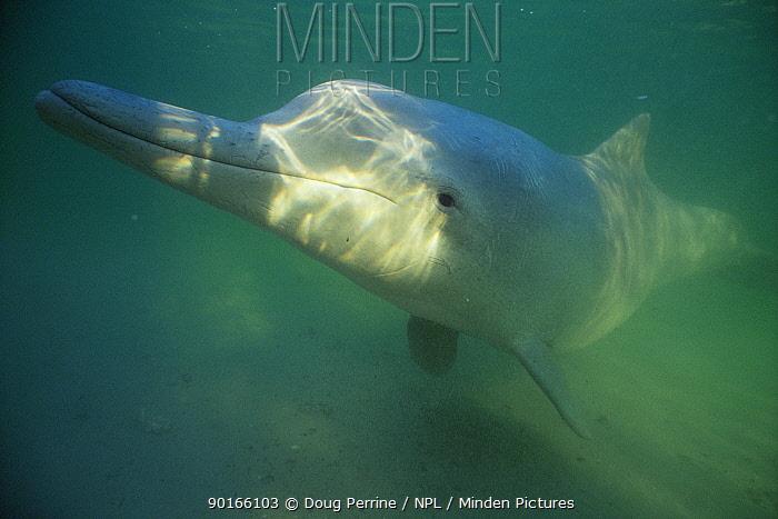 Indo-Pacific Humpbacked Dolphin (Sousa chinensis), Queensland, Australia  -  Doug Perrine/ npl