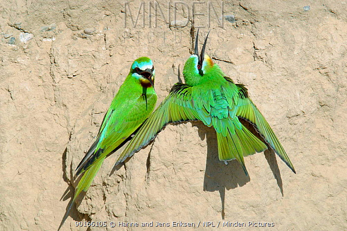 Blue cheeked bee eater (Merops persicus) pair sunning, Hafeet, Oman  -  Hanne & Jens Eriksen/ npl
