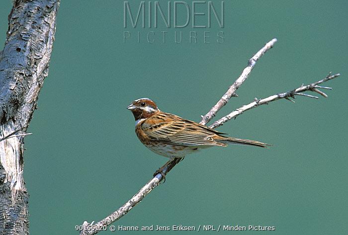 Pine bunting (Emberiza leucocephalos), Karakol, Kyrkyzstan  -  Hanne & Jens Eriksen/ npl