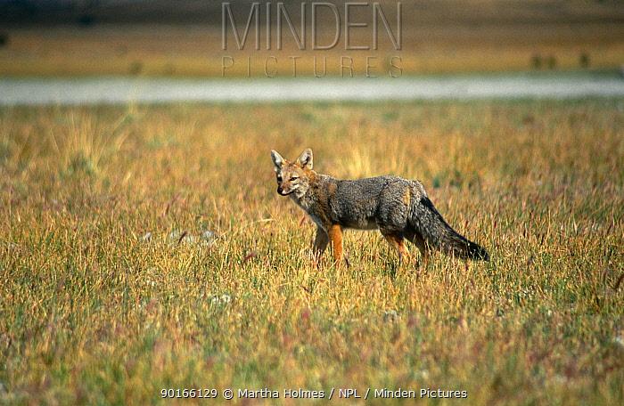 Culpeo fox (Pseudalopex culpaeus) Nr Torres del Paine, Patagonia, Chile  -  Martha Holmes/ npl