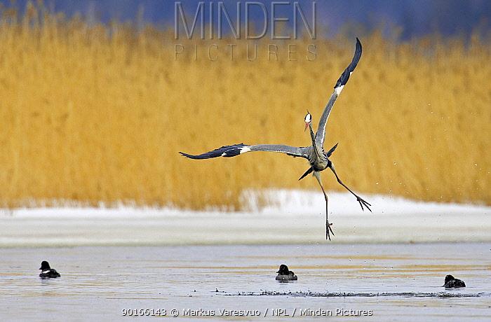 Grey Heron (Ardea cinerea) landing on small patch of land in wetlands, Porvoo, Finland, April 2006  -  Markus Varesvuo/ npl