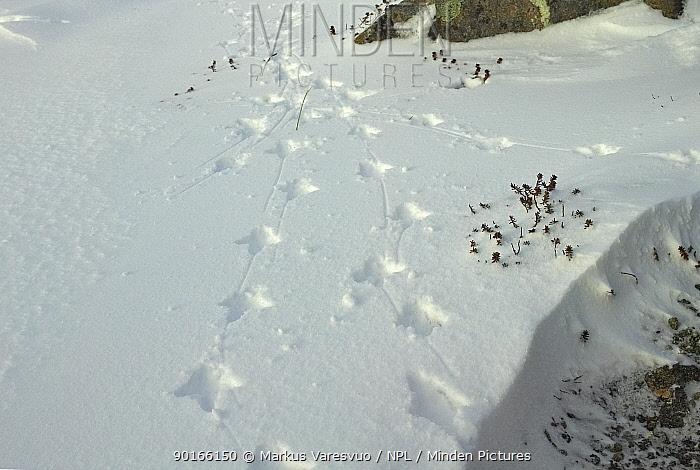 Rock ptarmigan (Lagopus mutus) tracks in snow, Utsjoki, Finland, March 2003  -  Markus Varesvuo/ npl