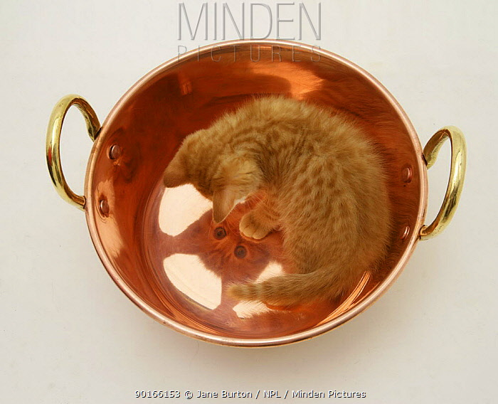 Ginger kitten looking at its reflection in a copper pan  -  Jane Burton/ npl