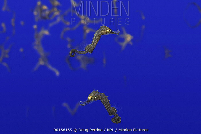 Northern, lined, Atlantic seahorse (Hippocampus erectus) young fry moments after birth ie after being expelled from father's brood pouch, as they float just below the water's surface (captive) Digitally manipulated  -  Doug Perrine/ npl