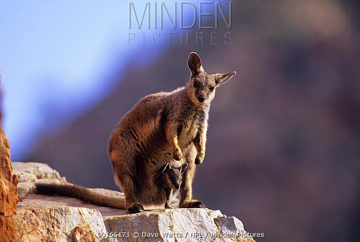 Black footed rock wallaby (Petrogale lateralis) female with joey in pouch, Northern territory, Australia  -  Dave Watts/ npl