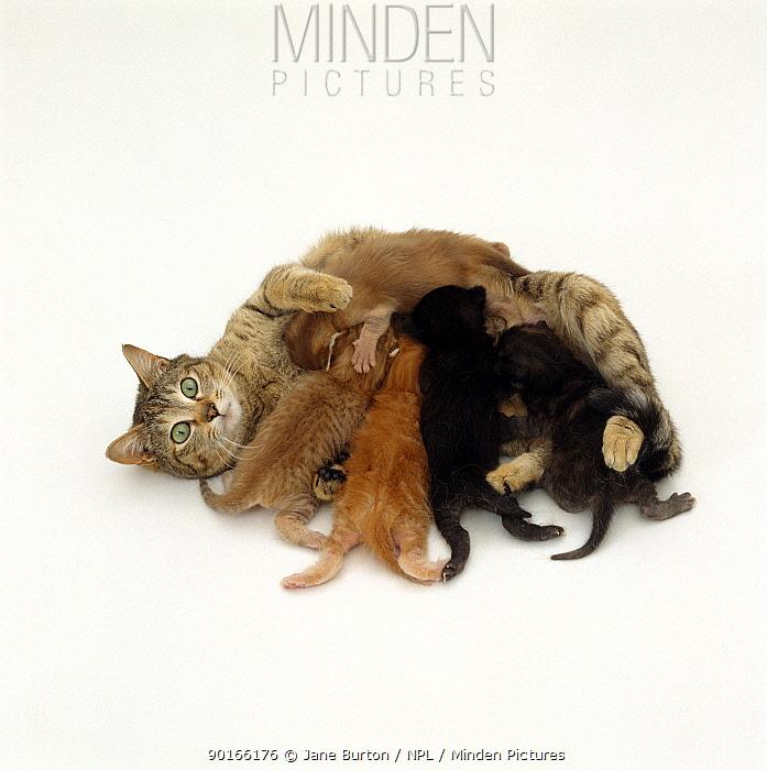 Domestic Cat (Felis catus) Tabby mother suckling her kittens  -  Jane Burton/ npl