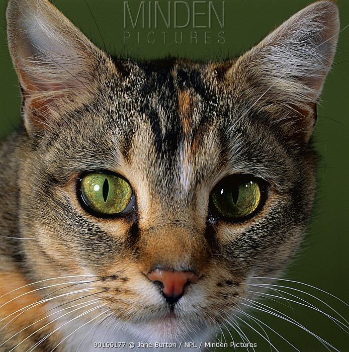 Domestic Cat (Felis catus) tabby tortoiseshell, close-up of eyes with pupils dilated closed in bright light  -  Jane Burton/ npl