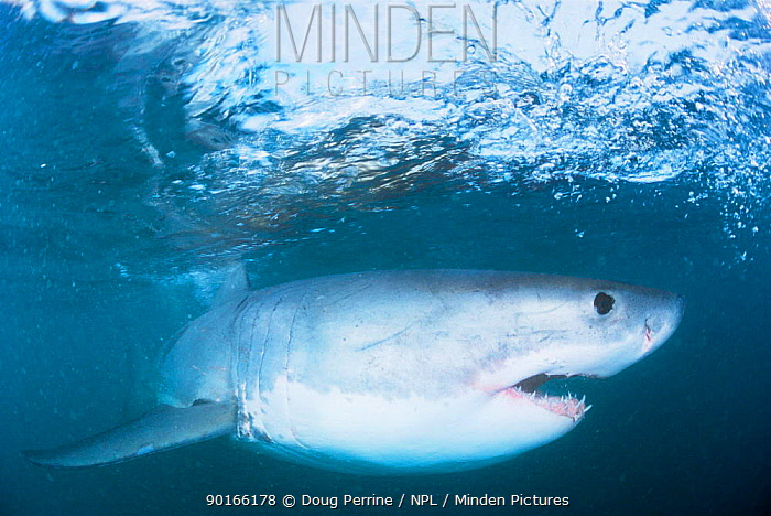 Great white shark (Carcharodon carcharias) just below surface, Gansbaai, South Africa  -  Doug Perrine/ npl