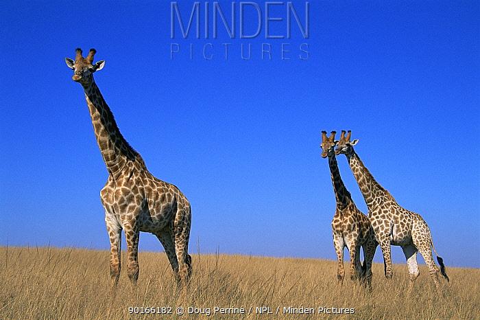 Giraffes (Giraffa camelopardalis) Tala Game Reserve, South Africa  -  Doug Perrine/ npl