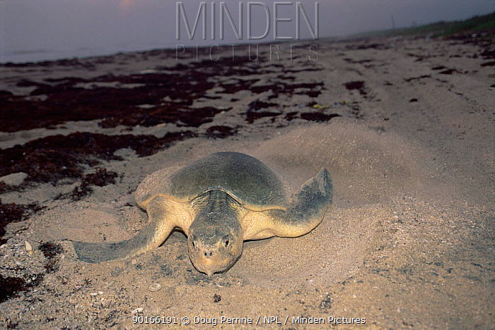 Female Kemp's ridley turtle (Lepidochelys kempii) covers nest after laying eggs on beach, Rancho Nuevo, Gulf of Mexico, Mexico 2002  -  Doug Perrine/ npl