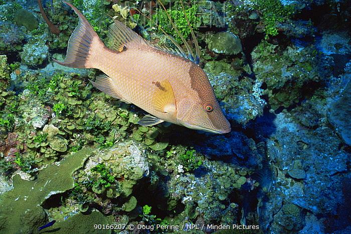 Hogfish (Lachnolaimus maximus) West Bay, Grand Cayman Island, Caribbean  -  Doug Perrine/ npl