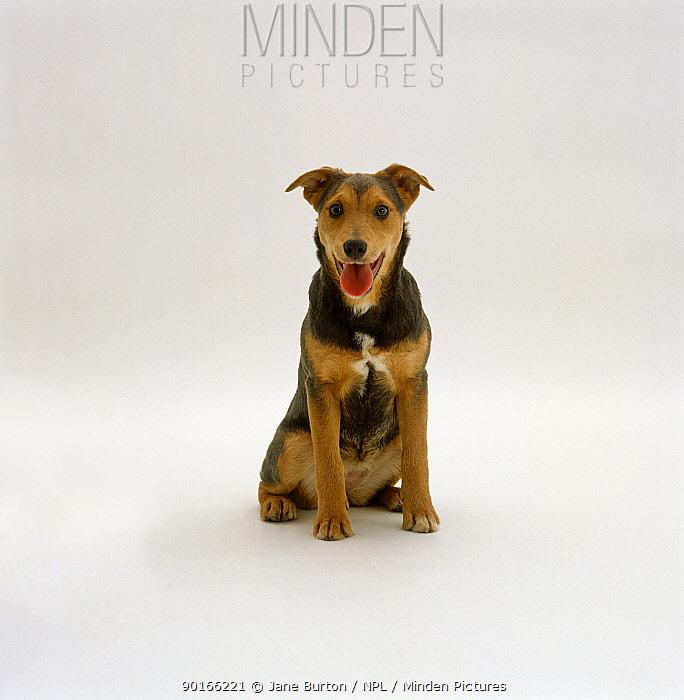 Lakeland Terrier x Border Collie, 6-month pup portrait  -  Jane Burton/ npl